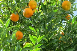 Tangerine essential oil is used for healing strech marks