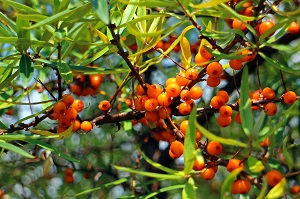 Sea buckthorn oil is a valuable natural ingredient for essential oil recipes.