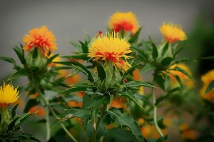 Safflower oil is a great DIY face moisturizer ideal for sensitive and dry skin.