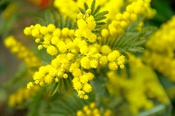 The sweet flowery fragrance of Mimosa is an aphrodisiac