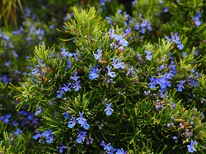 Rosemary essential oil belongs to the group of essential oils that repel bugs
