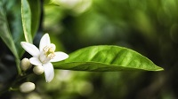 Neroli essential oil is great for sensitive skin