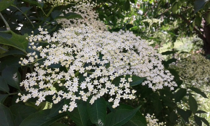 Elderflower is rich in vitamins and antioxidants