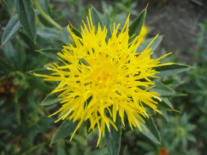 Safflower oil deeply hydrates your skin