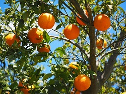 Orange essential oil regenerates oily and mature skin and relieves depression.