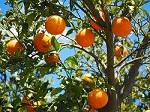Orange essential oil regenerates oily and mature skin and relieves depression.